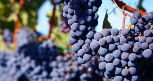 Sicilian wine: arriva il vino vegano