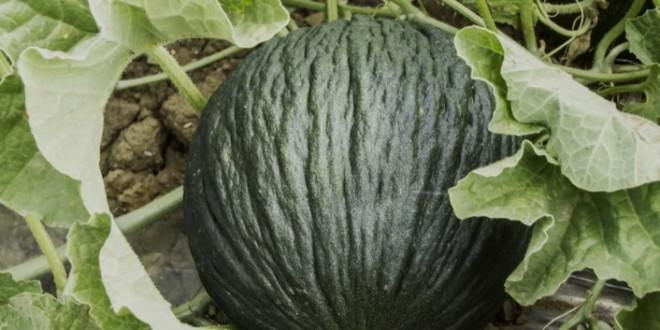 melone Purceddu di Alcamo