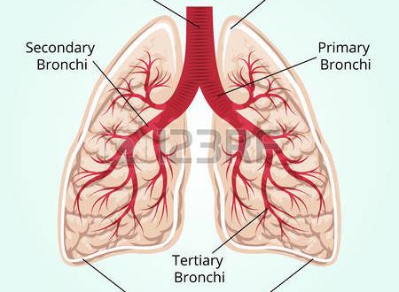 38903291-struttura-dei-polmoni