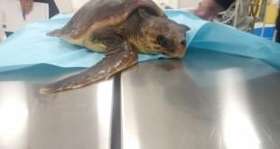 Benessere, monitoraggio e diagnostica delle malattie delle tartarughe marine, uno studio a Palermo